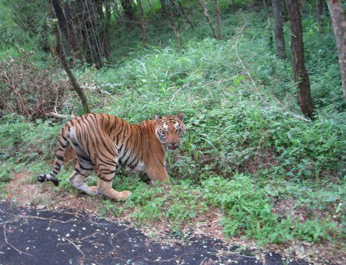 Pembangunan Jalan di Asia Ancam Populasi Harimau